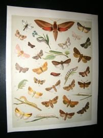 Kirby 1907 Sphinges Moths 52. Antique Print